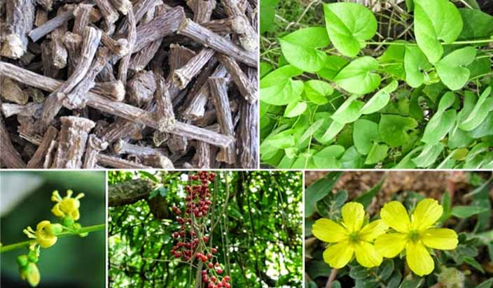Giloy – The ultimate herbal remedy